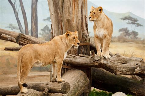 Two Lions Free Stock Photo - Public Domain Pictures