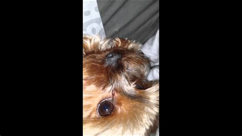 Collapsed Trachea? Help with my Yorkie,! - YouTube