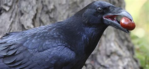 Ravens & Crows   Nature   PBS