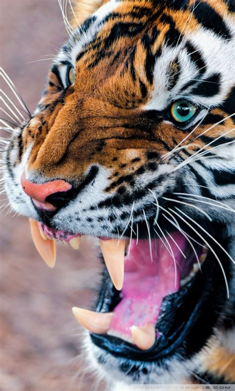 Download Tiger HD Wallpaper For Mobile Gallery