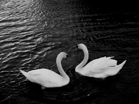 Swans Free Stock Photo - Public Domain Pictures